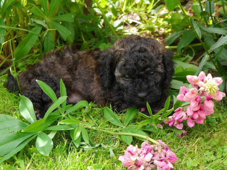 Brindle Cavapoochon girl