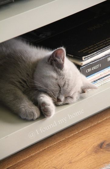 Napping British Shorthair kitten., oh look at her, she's so beautiful