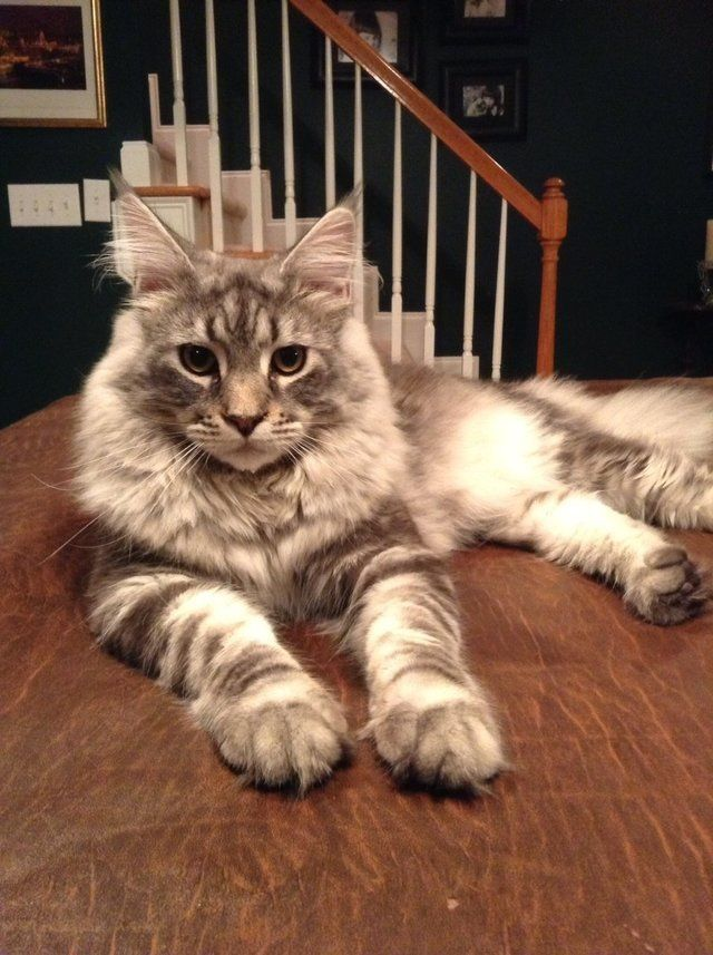 Enjoy photos of some of the most beautiful Maine Coon