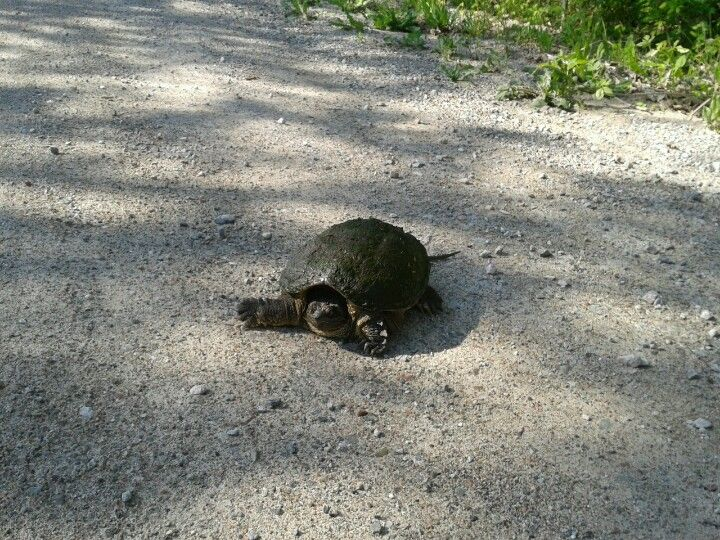 snapping turtle, Tweed Ontario