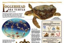 Sea Turtle Conservancy :: Educational Initiatives