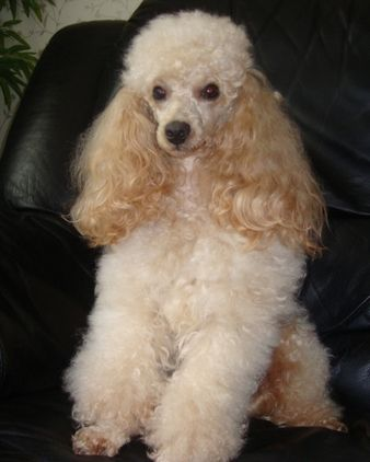 A beautiful apricot poodle.