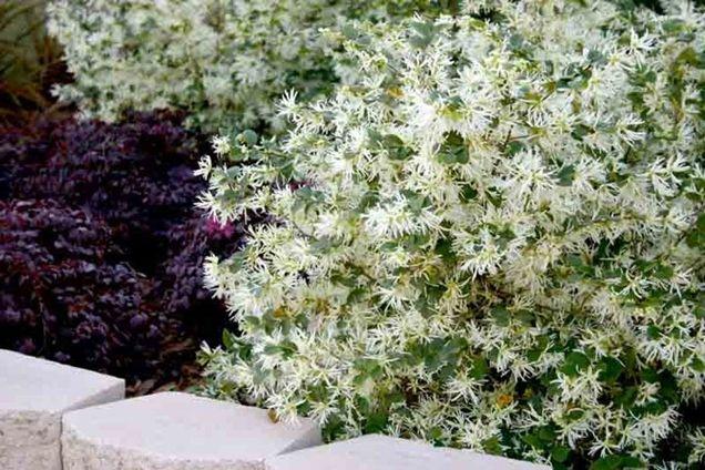 Las Mejores Plantas Grandes Para El Frente De Tu Casa Arbustos De Flor Blanca árboles De Hoja Perenne Flores Perennes