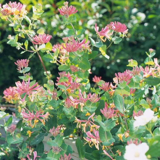 Honeysuckle Vine is another great pick if you want to bring butterflies into your yard. This easy-care vine doesn't grow quite as large or rampantly as trumpet vine, so it's a good pick for smaller-space gardens.