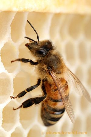 A worker bee on new wax comb. New wax is a lovely off white colour.  Over time the honeycombs will turn golden and then dark brown, almost black.  Think of it like a white rug that thousands of tiny feet travel over.