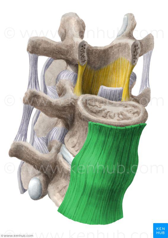 Anterior longitudinal ligament : superior to inferior of vertebral body