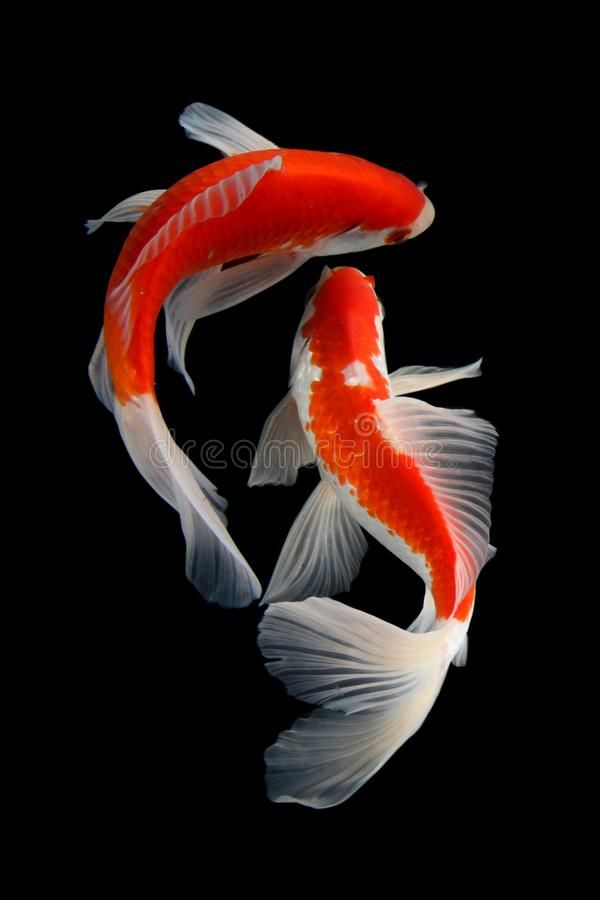 Koi Fish Gold Isolated On Black Background Koi Fish Is Domesticated Version Of Common Carp This Fish Is Most Famous Butterfly Koi Koi Painting Fish Drawings