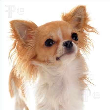 cute purebred white and brown chihuahua | Dogs and Cats ...