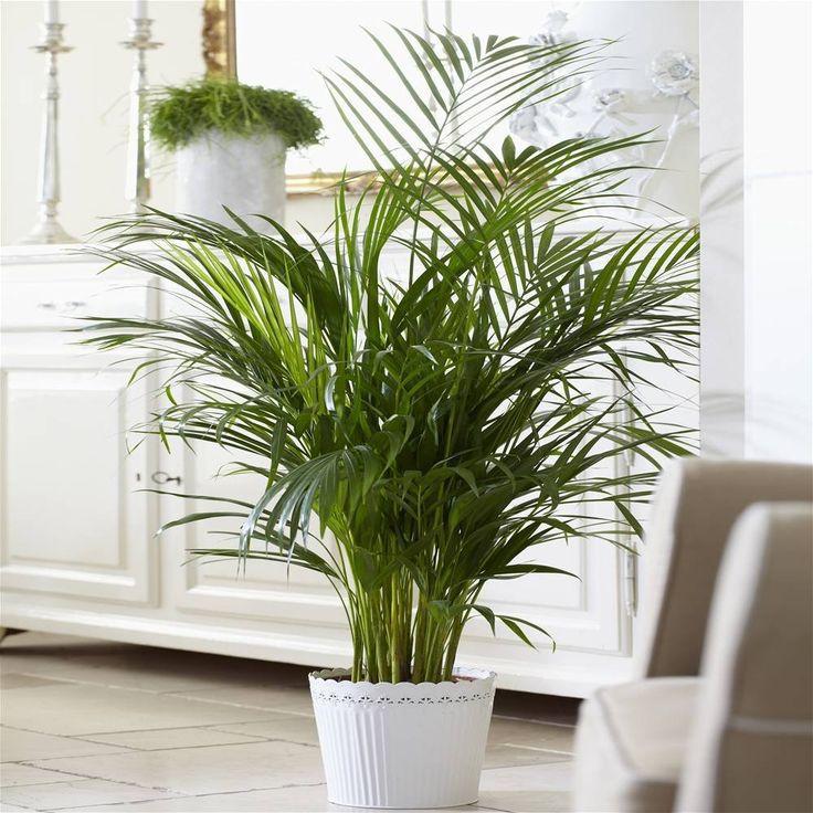 die besten 25+ kentia palme ideen auf pinterest | grüne blätter