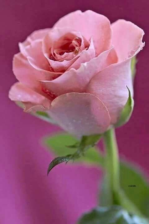 Pink Rose....