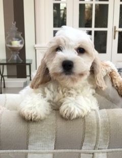 Cavapoos & Cockapoos Available for Sale in the UK — Raffles Cockapoos