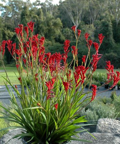 "Anigozanthos ""Kangaroo Paw""  Kangaroo Paws are great hardy flowering Aussie natives that look great mass planted in the garden. Excellent for low maintenance gardens.  The Kangaroo Paw is a beautiful, unusual plant that makes an awesome addition to any garden. They come in assorted colours."
