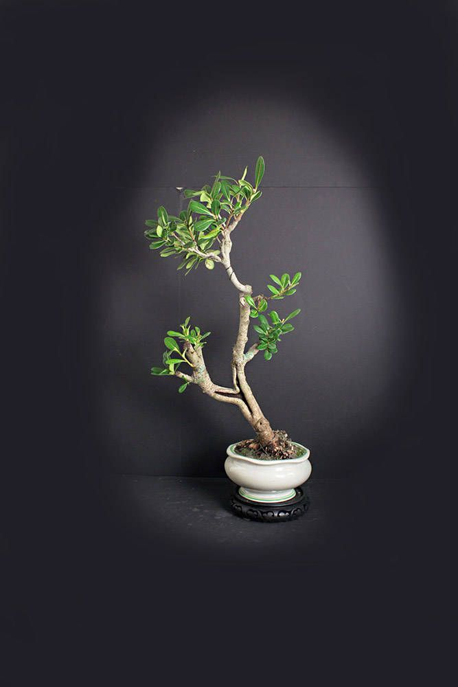 Pittosporum Bonsai Tree Fall 17 One Of A Kind Collection From Livebonsaitree By Livebonsaitree On Etsy Bonsai Tree Bonsai Bonsai Nursery