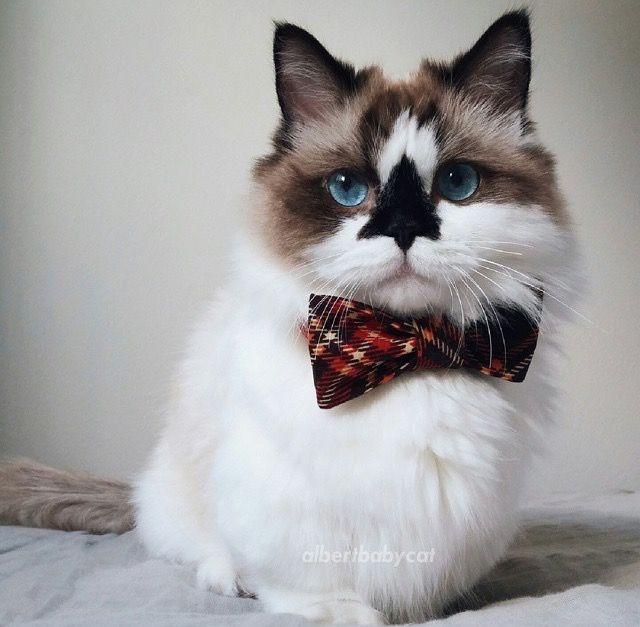 Albert Baby Cat