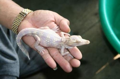 Baby Albino Alligator! | ALBINO (WITHOUT PIGMENTATION ...