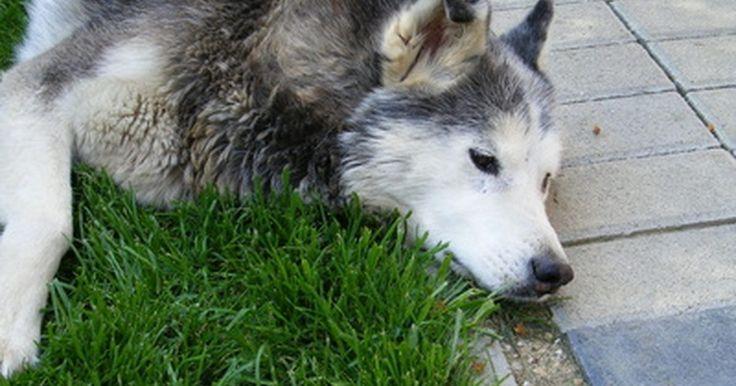 Remedios caseros para perros con alergias al césped. Los perrros, como los humanos, pueden desarrollar alergias a diferentes cosas en sus vidas. Una de las más comunes es la alergia al césped. Si tu perro tiene alergia al césped, es alérgico al polen en el césped, no al césped en sí mismo. Un perro con este tipo de alergia tendrá la piel irritada y con picazón. Puedes advertir que tu perro se rasca ...