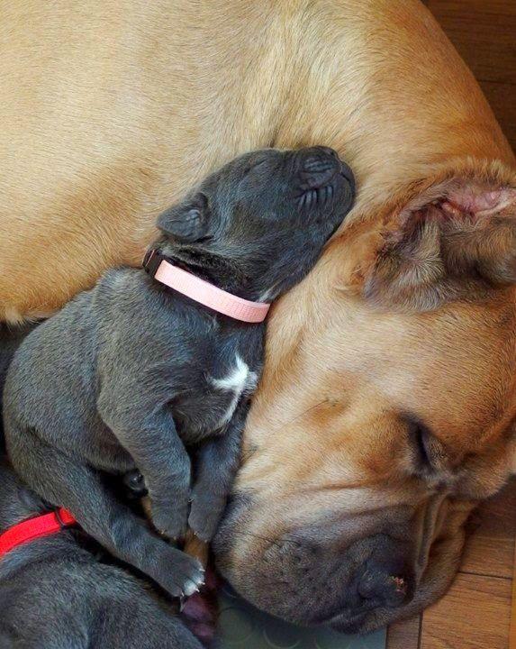 Собака кане корсо (фото): верный друг и защитник, который всегда рядом  Смотри больше http://kot-pes.com/sobaka-kane-korso-foto-vernyj-drug-i-zashhitnik-kotoryj-vsegda-ryadom/