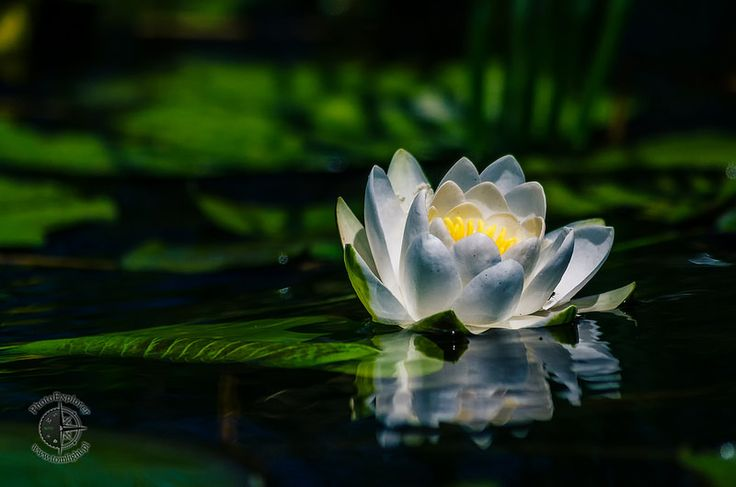 Grzybień biały | Nenufar | White Waterlily | White Lotus | Nymphaea alba - Flora