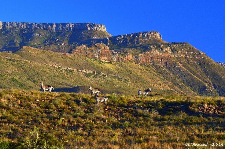 Mountain Zebras at Karoo National Park South Africa.