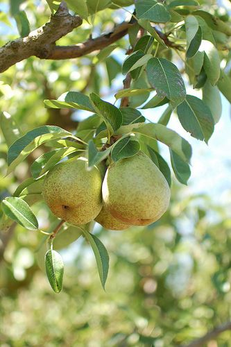 We had pear trees like these where I grew up. I spent many an hour in them.