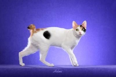 Japanese Bobtail: Japanese Bobtail, Japan Bobtail, Art Japan, Clothing Outlets, Cats Breeds, Brushes Families, Makeup Samples, Hilary Stuff, Bobtail Animal