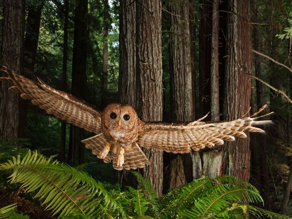 """Northern Spotted Owl    Photograph by Michael Nichols, National Geographic    September 30, 2009    A tagged northern spotted owl swoops toward a researcher's lure in a young redwood forest.    See more photographs from the October 2009 feature story """"Redwoods."""""""