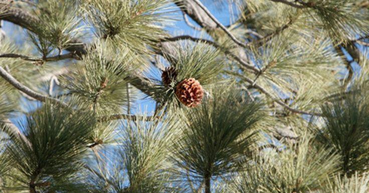 Plantas que se benefician del mantillo de agujas de pino