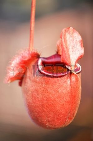 Tropical pitcher or monkey cup plant - one of  carnivorous plants mostly found in Asia photo