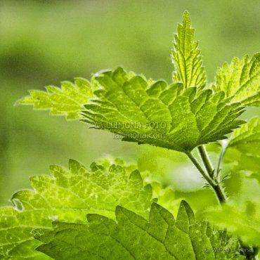 Hojas verdes F00497 de Wifred Llimona