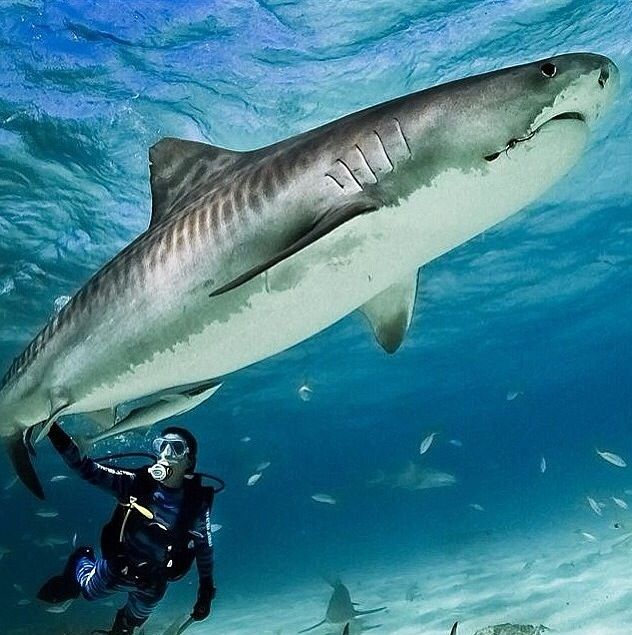 Shark, sea life, animals, ocean, ocean life, aquatic animals, fish, fishes, marine biology, water, under water life #sealife #marine