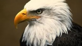 3 Reasons Why Bald Eagles Are Endangered