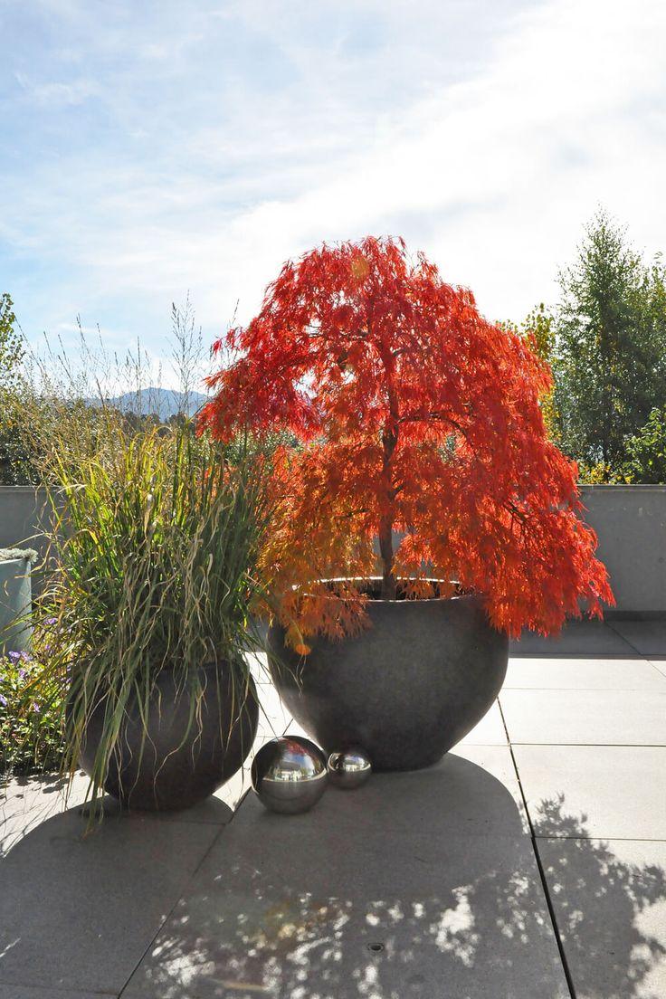 Acer palmatum - Japanischer Fächerahorn mit Herbstfärbung - PARC'S gartengestaltung.ch  #autumn #fall #acer