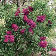 Burgundy Queen™ Syringa vulgaris Lilac Shrub
