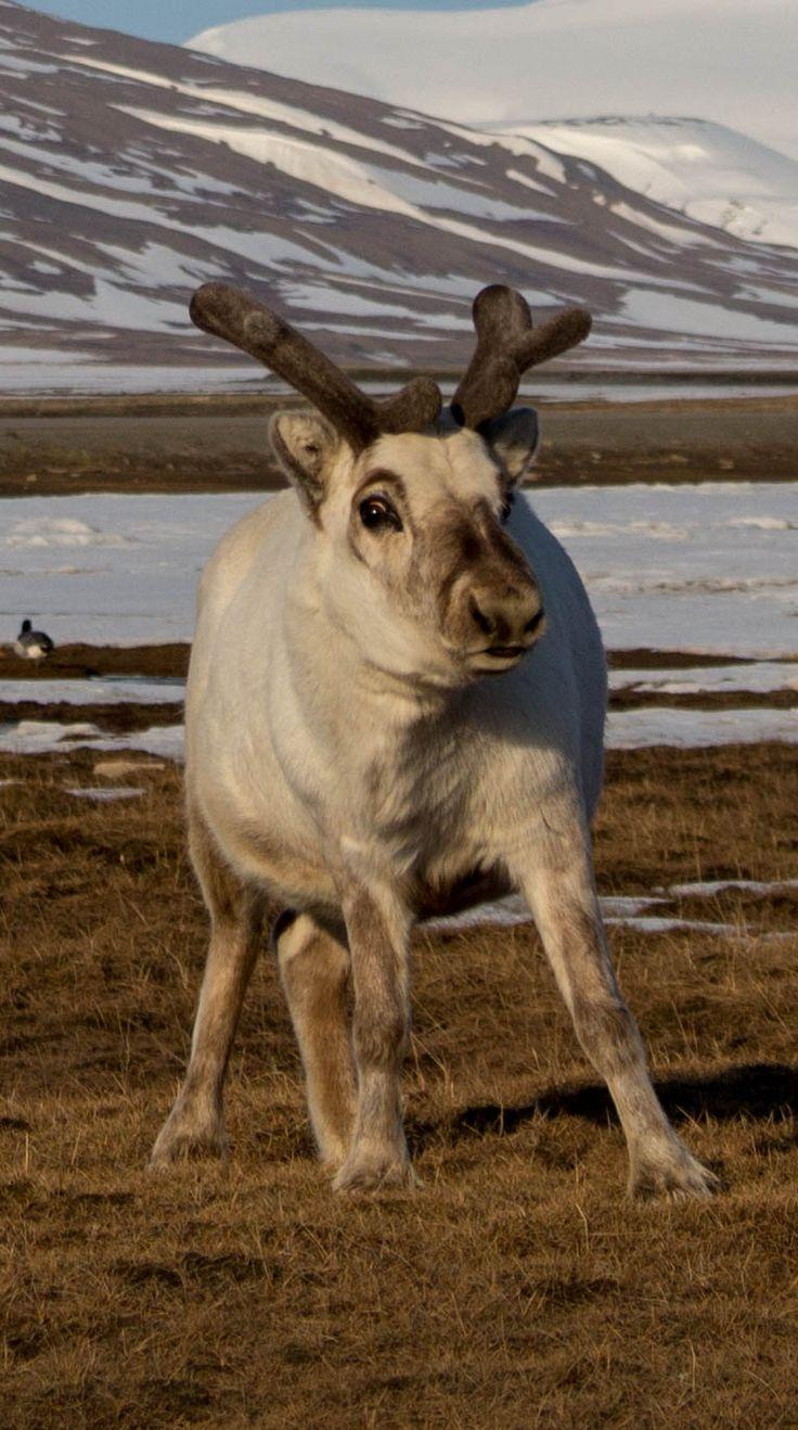 Svalbard Reindeer posing for me - (Rangifer tarandus platyrhynchus)