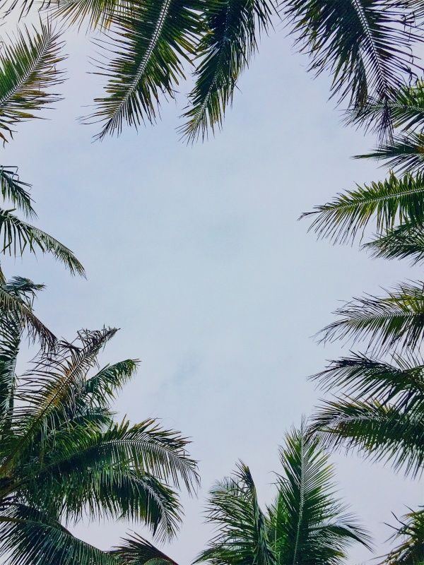 Vsco Florida Palm Trees Sky Jaiye2ta Florida Palm Trees Palm Trees Wallpaper Palm Trees