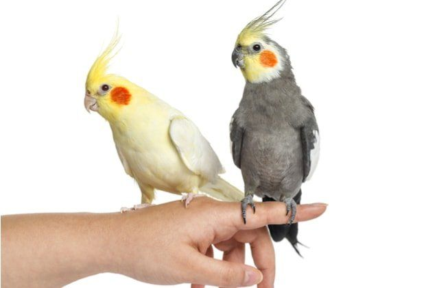 Choosing The Best Pet Birds Top 20 Pet Birds Reviewed For The