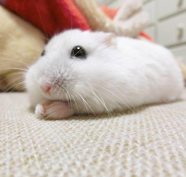 モグモグ #ジャンガリアンハムスター#ジャンガリアン#ハムスター#パール#パールホワイト#可愛い#もふもふ #うー吉#家族#cute#family#Djungarianhamster#hamster#animal#pet#ペット #ふわもこ部#hamstergram#hammy#love#animal#dwarfhamster#happy_pets#hammy#kaumo by ushikichi
