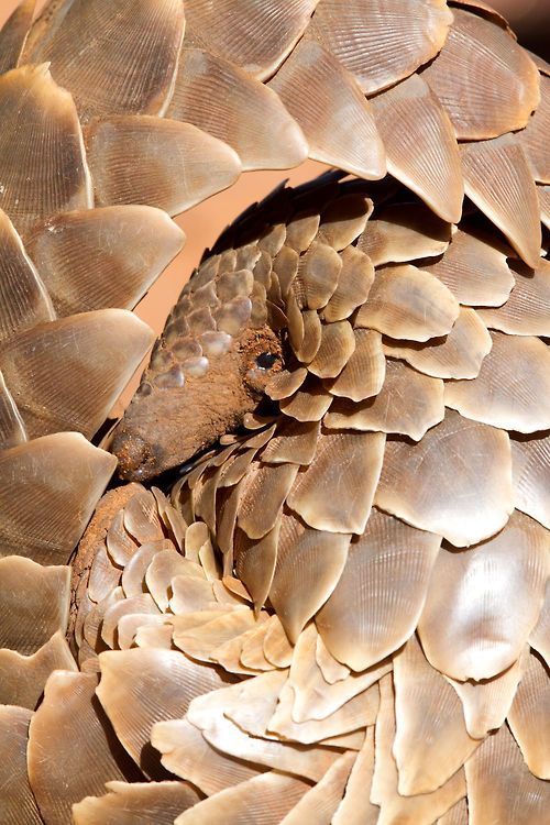 Shy Pangolin | ©Gary Parker Common names: Cape pangolin, Scaly anteater, South African pangolin, Temminck's ground pangolin, Pangolin De Te...