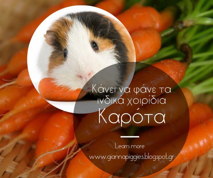 Can guinea pigs eat carrots? Κάνει να φάνε τα ινδικά χοιρίδια καρότα? Learn more www.giannapiggies.blogspot.gr