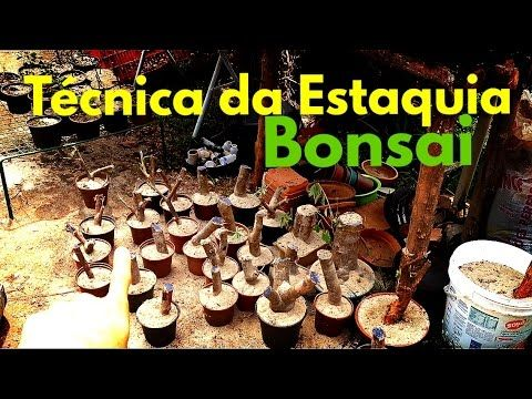 PRIMAVERA BOUNGAVILLEA - DICAS E CUIDADOS - YouTube