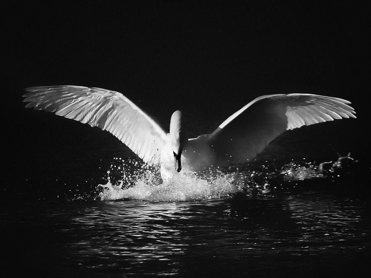Touchdown - Landing of beautiful swan