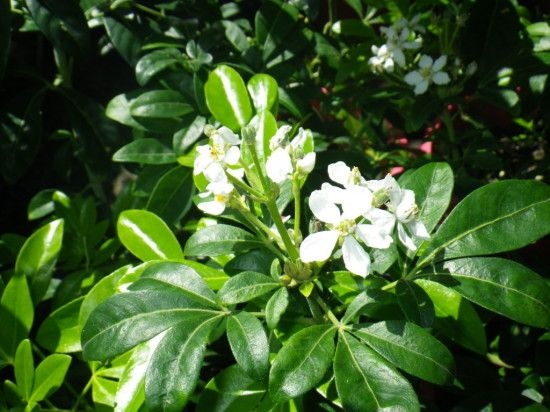 Choisya ternata - Landsdale Plants