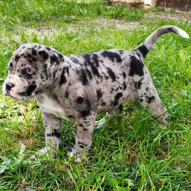 Alapaha Blue Blood Bulldog – ZooperTrooper