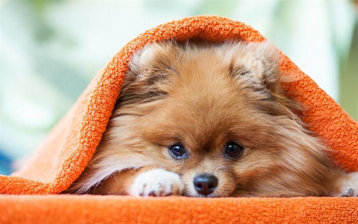 Download wallpapers Pomeranian Spitz, Puppy, little fluffy dog, Friendly Dogs