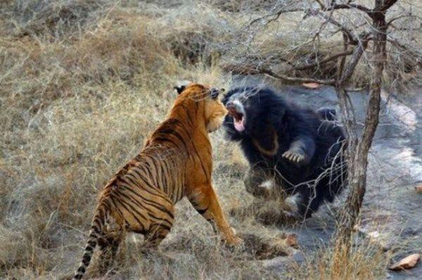 Dva tygři zaútočí na medvědici. Neuvěříš co se stalo!