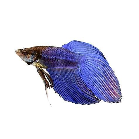 Gold Twinbar Platy In 2020 Fish Freshwater Aquarium Fish Aquarium Fish
