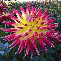 Blazing Sun Dahlia. full sun/partial shade. zone 9-10. height 3-4 feet.
