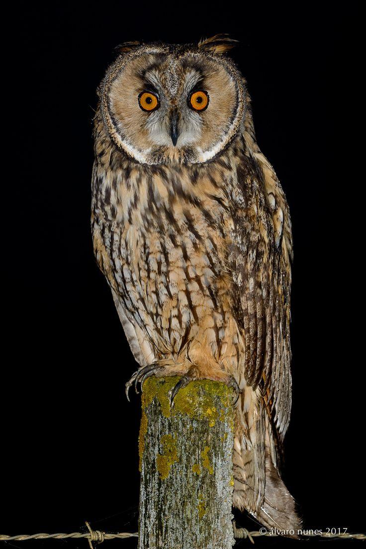 Bufo-pequeno | Long-eared owl | Asio otus - Lezíria Grande de Vila Franca de Xira  Portugal