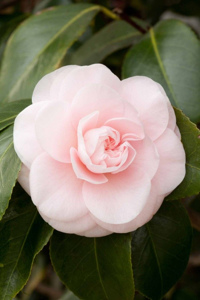 Camellia japonica 'Incarnata' AKA 'Lady Hume's Blush' (imported from China to U.K., in 1806)
