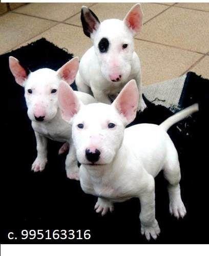 venta cachorros bull terrier a s/.301 soles